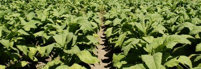tobacco plants - lombok