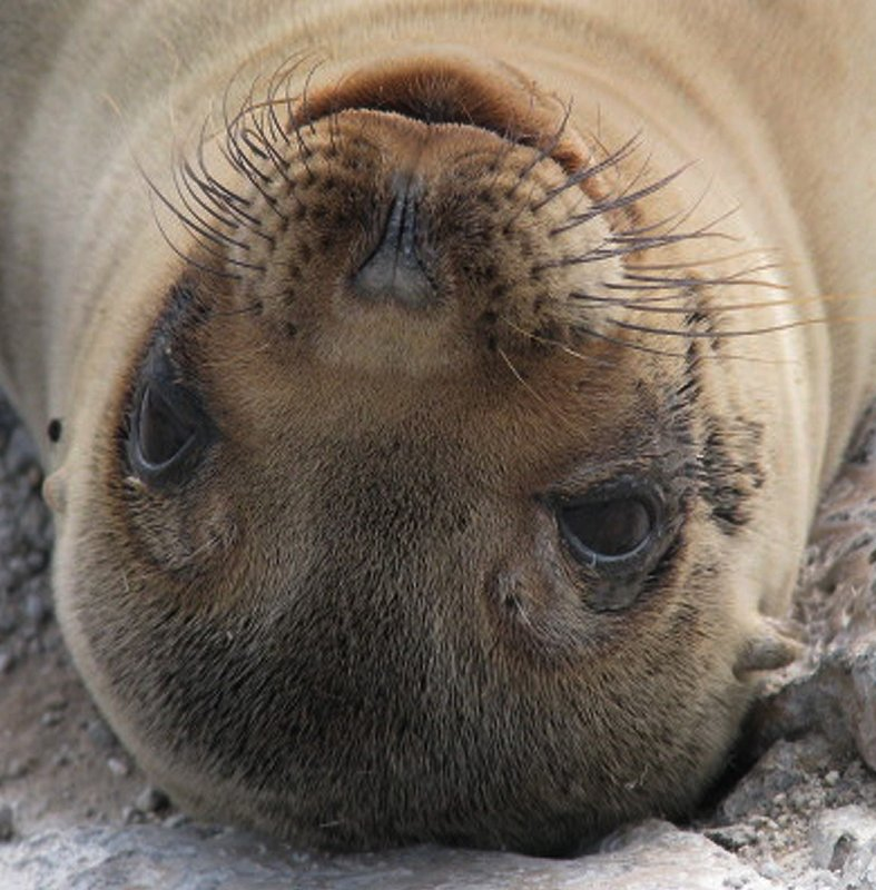 Galapogas Island - Seal