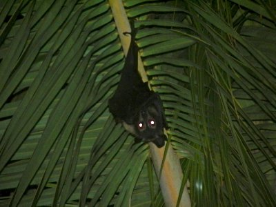 Peter spotted a fruit bat in a tree!