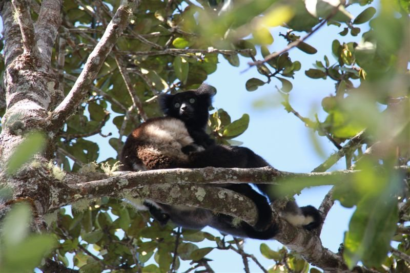 First wild Lemur spotted !! An indri.