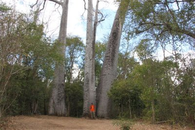 Tall Baobabs