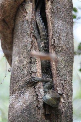 hidden iguana