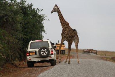 Giraffe traffic jam