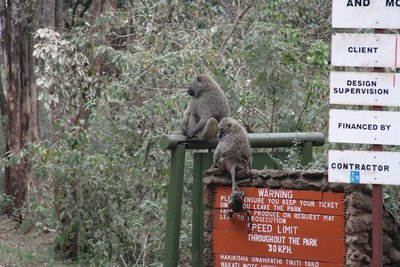 Baboon familly - tail climbing