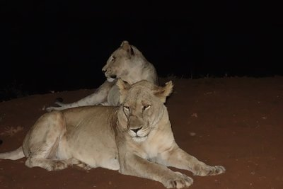 2-14.17b Female Lions at night