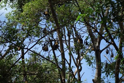 5-4r (11) Flying Foxes (tree bats)