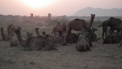 Camel Fair at Sunset