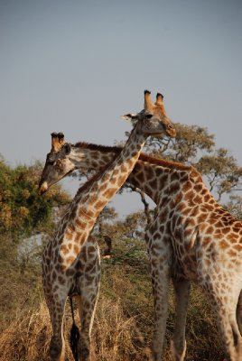 Girafas en Moremi Game Reserve