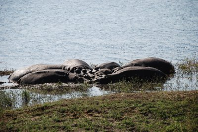 Hippos at Chobe Riverfront