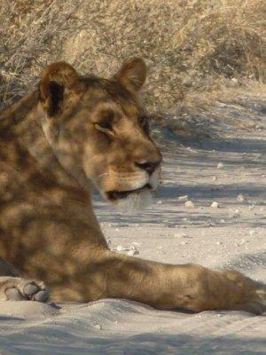 Lions at Nxai Pans National Park
