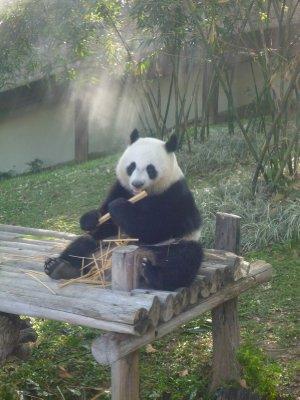 Giant panda at Chiang Mai Zoo