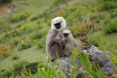 Grey langurs in the Tsum Valley