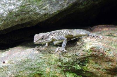 Himalayan lizard in the Budi Gandaki Valley