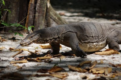Monitor lizard on Koh Rok