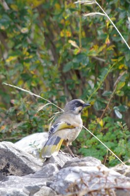 Variegated laughingthrush in the Tsum Valley