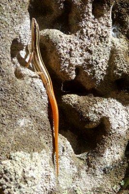Striped Lizard, Ta Prohm temple ruins