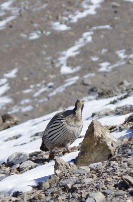 Tibetan snowcock on the descent from the Thorung La