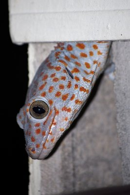 Tokay gecko, Koh Adang