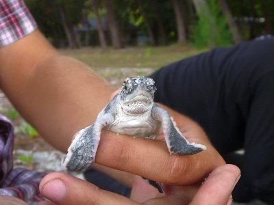 Turtle hatchling, Koh Adang