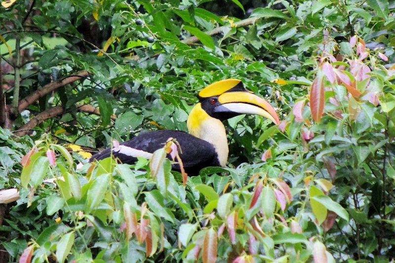 Great hornbill in a fruiting fig tree