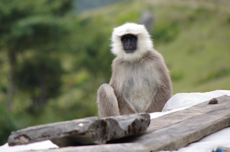 Hanuman langur in the Tsum Valley, Nepal