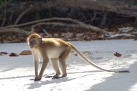 Long-tailed macaque on the beach