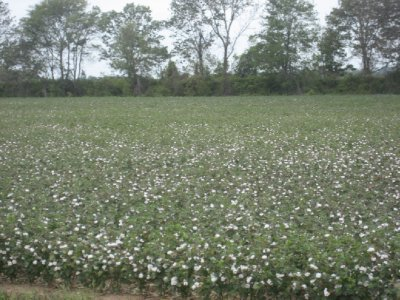Delta Cotton Fields