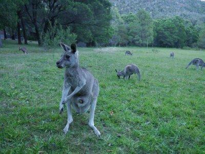 Kangoeroes..alavond.jpg