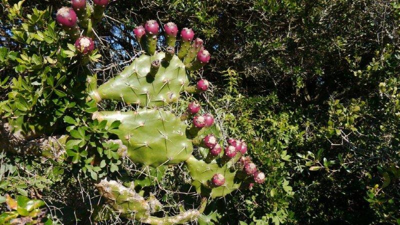Vettige cactussen