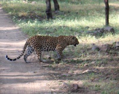 Ranthambore - Leopard