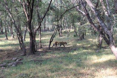 Ranthambore - Leopard 1