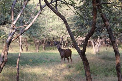 Ranthambore - Stag