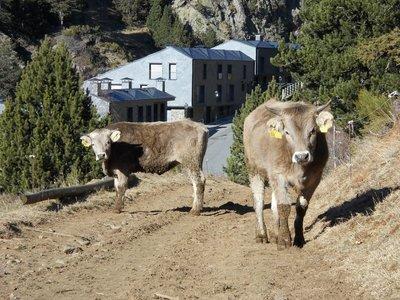 Evil cows roaming Andorran hillside.