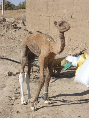 Baby camel seen at the camel milk station