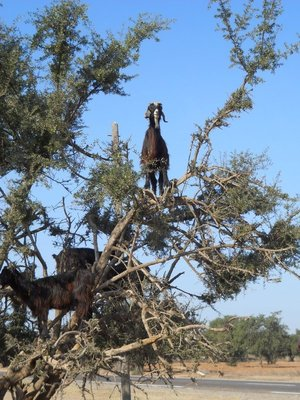 Goats in tree - this was hilarious to see!