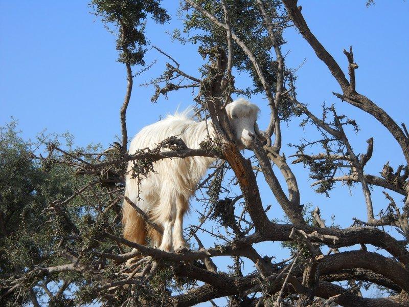 Tree climbing goat