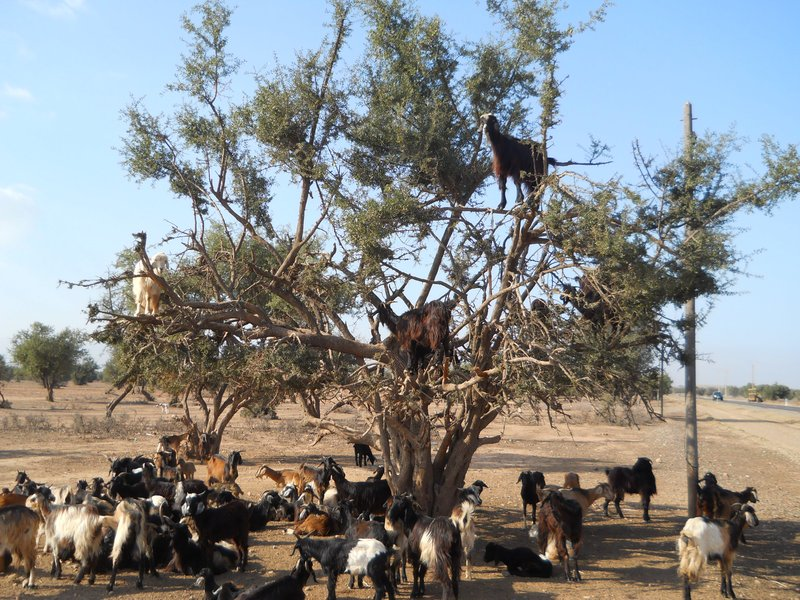 Goats eating argan kernels...up in a tree!