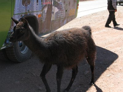 En lama paa vei til Uyuni