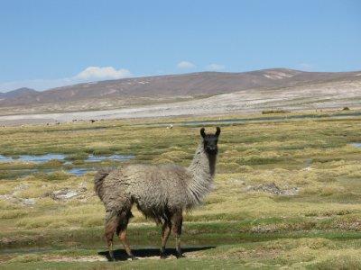 Lama paa vei tilbake til Uyuni