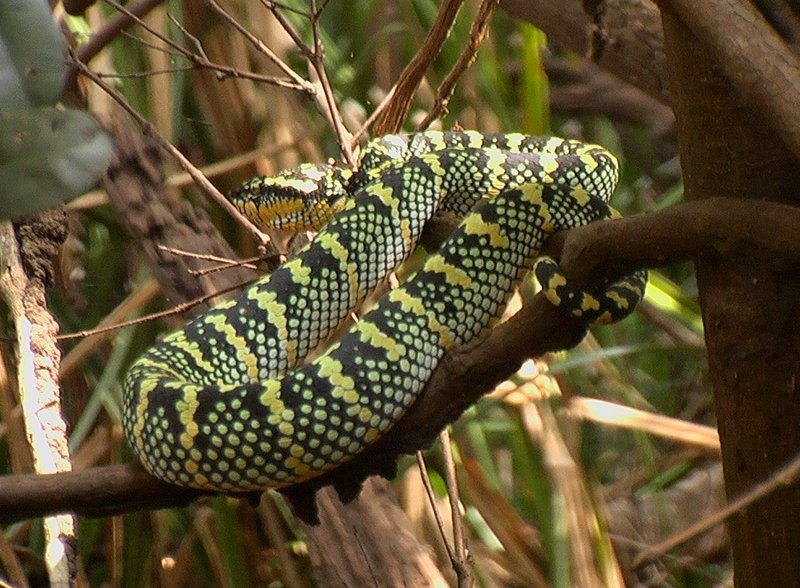 All coiled up...the pit viper