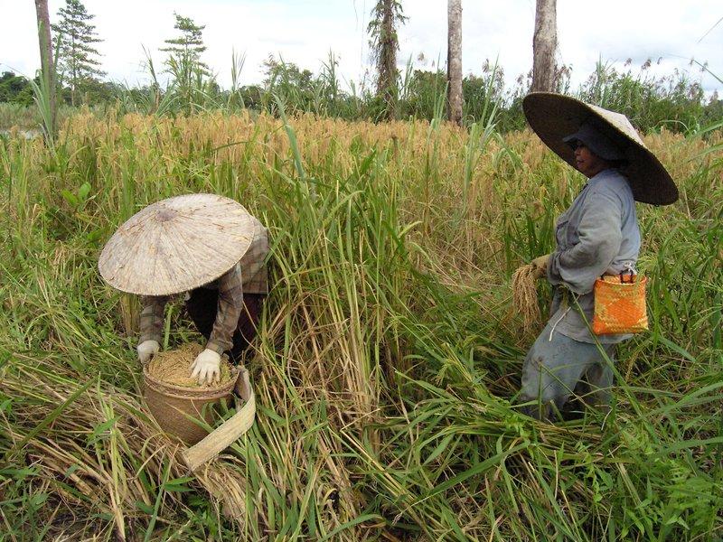 Highland padi harvesting