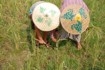 Aleix harvesting rice