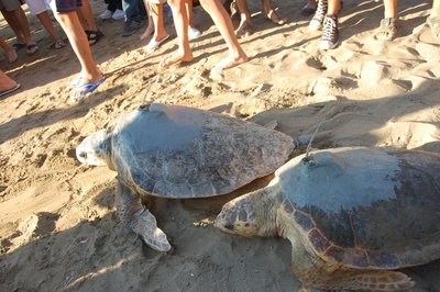 the beautiful loggerhead turtles making their way back to sea