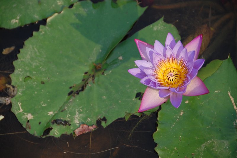 A beautiful lotus flower