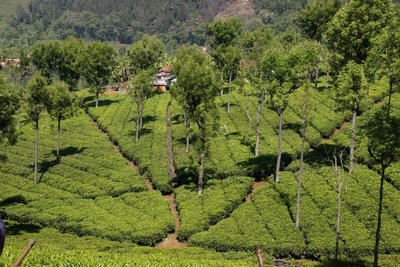 Highfield Tea Plantation