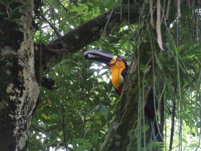Toucan, dans le jardin botanique