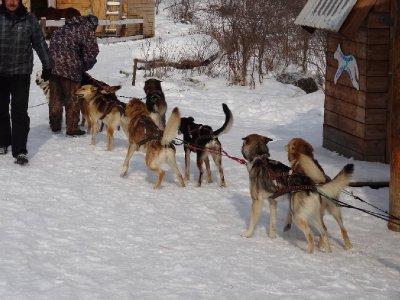 Les chiens prêt au départ