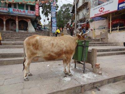 Scène typique indienne, une vache en pleine ville qui mange des déchets. Extrêmement rare par contre la poubelle !!!!!!!