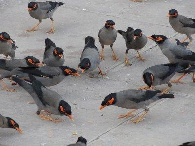 Jolis p'tit oiseaux indiens