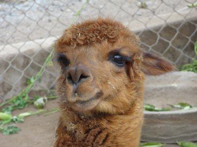 Notre premier Lama (en captivité)